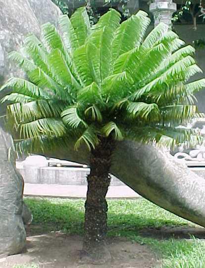 palma corcho_especie en peligro de extinción en cuba