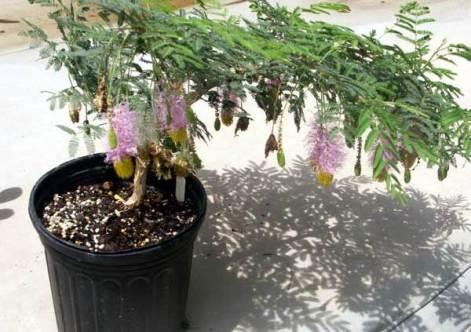 bonsai de marabú