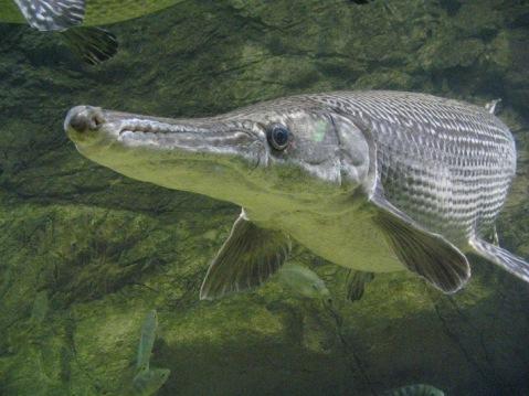 Algunas curiosidades de la fauna cubana  Ciencia-cubana_ciencia-de-cuba_fc3b3sil-viviente-con-cuerpo-de-pez-y-cabeza-de-reptil