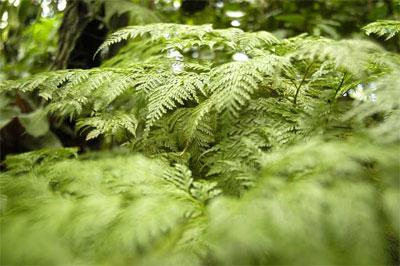 35 años cumple el único jardín de helechos de cuba