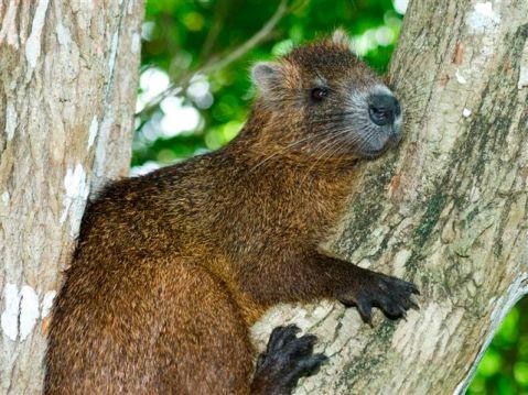 Algunas curiosidades de la fauna cubana  Ciencia-cubana_ciencia-de-cuba_jutc3ada-enana_capromydes-nana-que-solo-vive-en-cuba