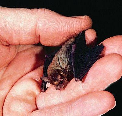murciélago más pequeños del mundo