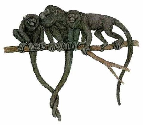 Algunas curiosidades de la fauna cubana  Ciencia-cubana_ciencia-de-cuba_paralouatta-varonai_mayor-de-los-monos-antillanos
