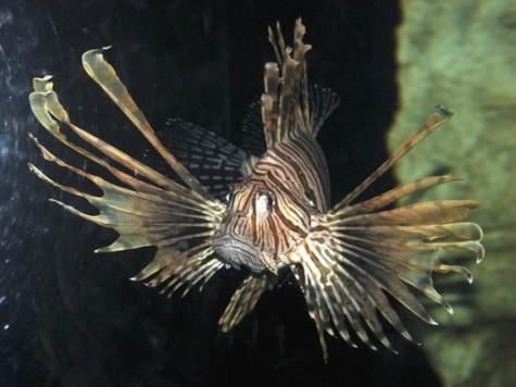 pez león en las costas de cuba