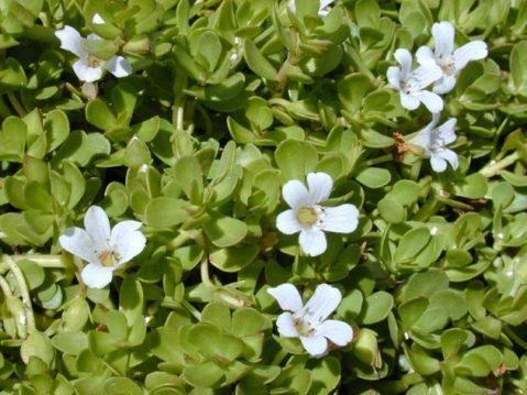 plantas medicinales antioxidantes_bacopa enana