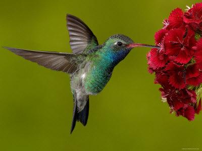 Algunas curiosidades de la fauna cubana  Ciencia-cubana_ciencia-de-cubaave-mc3a1s-pequena-del-mundo_zunzuncito-o-ave-mosca_aves-de-cuba_mellisuga-helenae-zunzuncito-bee-hummingbird-male-bermejas