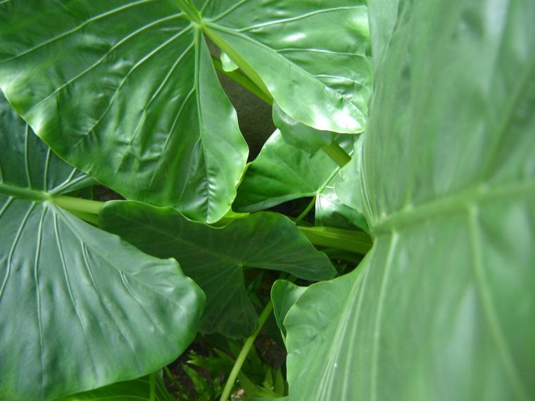 ciencia de cubaciencia cubanaMalanga de hojas grandes, planta