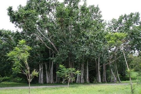 árboles de cuba