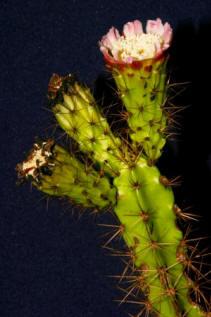 ciencia cubana_ciencia de cuba_cactus cubanos_2