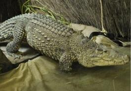 ciencia de cuba_ciencia cubana_Crocodylus rhombifer_cocodrilo cubano_3