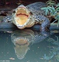 ciencia de cuba_ciencia cubana_Crocodylus rhombifer_cocodrilo cubano_4