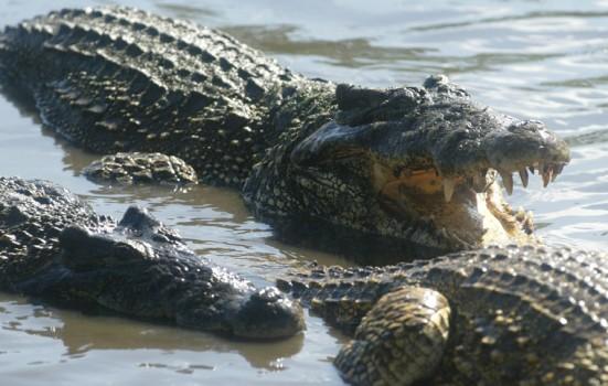 ciencia de cuba_ciencia cubana_Crocodylus rhombifer_cocodrilo cubano_6