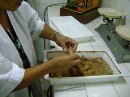 ciencia de cuba_ciencia cubana_estación experimental agroforestal de III frente_Medios biológicos para el control de la Broca del café_larvas galleria mellonela
