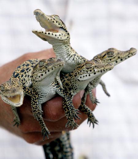ciencia de cuba_ciencia cubana_Crocodylus acutus_cocodrilo cubano_reproducción en cautiverio_1