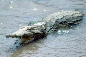 ciencia de cuba_ciencia cubana_Crocodylus acutus_cocodrilo cubano_reproducción en cautiverio_2