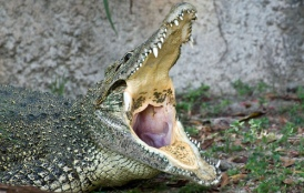 ciencia de cuba_ciencia cubana_Crocodylus acutus_cocodrilo cubano_reproducción en cautiverio_3