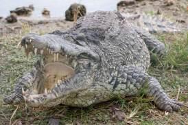 ciencia de cuba_ciencia cubana_Crocodylus acutus_cocodrilo cubano_reproducción en cautiverio_4