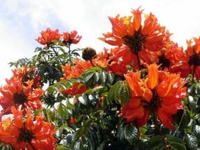 miona o tulipán africano