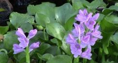 ciencia de cuba_ciencia cubana_especies botánicas invasoras exóticas en cuba_10