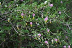 ciencia de cuba_ciencia cubana_especies botánicas invasoras exóticas en cuba_3