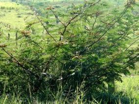 ciencia de cuba_ciencia cubana_especies botánicas invasoras exóticas en cuba_4