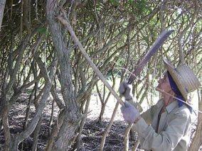 ciencia de cuba_ciencia cubana_especies botánicas invasoras exóticas en cuba_5
