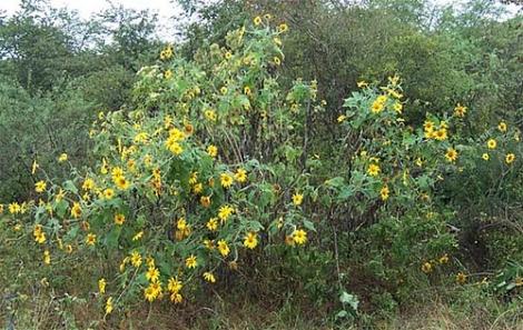 ciencia de cuba_ciencia cubana_especies botánicas invasoras exóticas en cuba_7