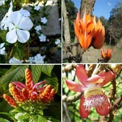 ciencia de cuba_ciencia cubana_especies botánicas invasoras exóticas en cuba_9