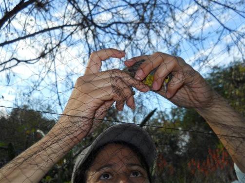 ciencia de cuba_ciencia cubana_anillamiento de aves en cuba_estación ecológica siboney juticí (19)