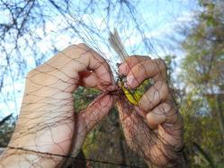 ciencia de cuba_ciencia cubana_anillamiento de aves en cuba_estación ecológica siboney juticí (20)