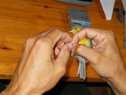 ciencia de cuba_ciencia cubana_anillamiento de aves en cuba_estación ecológica siboney juticí (23)