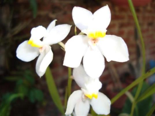 ciencia de cuba_portal de la ciencia cubana_orquídea cubana