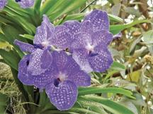 ciencia de cuba_portal de la ciencia cubana_orquídea cubana_2