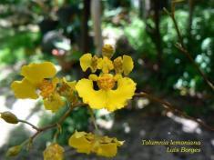 ciencia de cuba_portal de la ciencia cubana_orquídea cubana_4