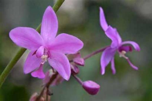 ciencia de cuba_portal de la ciencia cubana_orquídea cubana_5