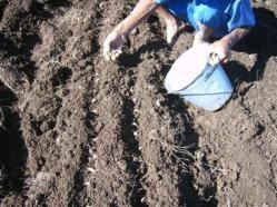 ciencia de cuba_produccion de ajos_ciencia y agricultura_produccion de alimentos (2)