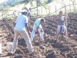 ciencia de cuba_produccion de ajos_ciencia y agricultura_produccion de alimentos (4)