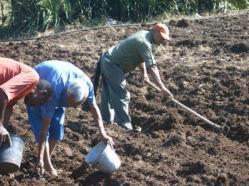 ciencia de cuba_produccion de ajos_ciencia y agricultura_produccion de alimentos (5)