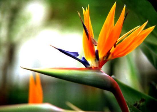 de Paraíso o Strellizia Reginae, que da las flores más bellas que he