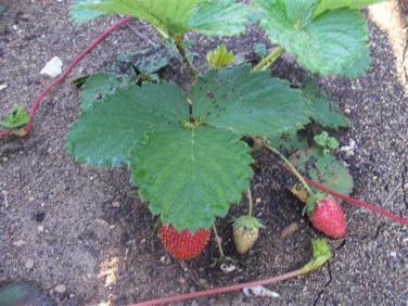 ciencia de cuba_portal de la ciencia cubana_produccion de fresas en la estacion de investigacion agroforestal III frente (1)