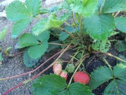 ciencia de cuba_portal de la ciencia cubana_produccion de fresas en la estacion de investigacion agroforestal III frente (4)